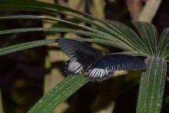 在绿色植物的一只美丽的深蓝蝴蝶 免版税库存照片