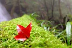 在绿色植物的槭树 库存照片