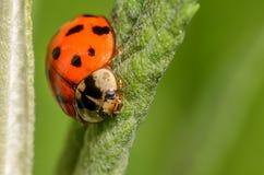 在绿色植物的瓢虫 库存图片