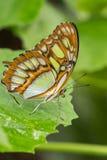 在绿色植物的绿沸铜蝴蝶 免版税库存图片