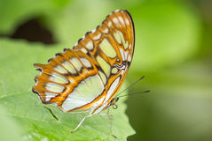 在绿色植物的绿沸铜蝴蝶 库存照片