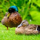 在绿色植物背景的家养的鸭子  免版税图库摄影