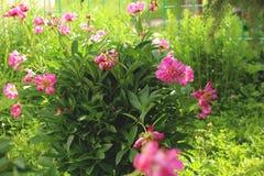 在绿色植物背景的桃红色花  库存照片