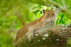在绿色植被的豹子 暗藏的斯里兰卡的豹子,豹属pardus kotiya,说谎在natu的树的大被察觉的野生猫 免版税库存照片