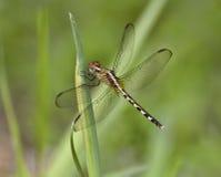 在绿色植被的蜻蜓 库存照片