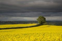 在黄色油菜籽的领域的树在设置阳光下有风雨如磐的背景 免版税图库摄影