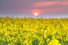 在黄色油菜籽花的温暖的日落 库存图片