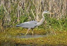 在绿色沼泽中 库存图片