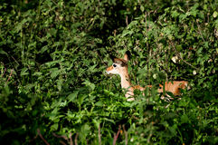 在绿色灌木中的小飞羚 图库摄影