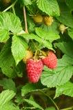 在绿色灌木的新鲜的红色莓果莓 库存图片