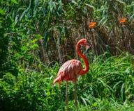 在绿色灌木的桃红色火鸟 免版税库存图片