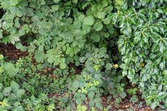 在绿色灌木的狂放的raspberrys悬钩子属植物idaeus 图库摄影