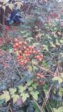 在绿色灌木的红色莓果在森林里 免版税库存照片