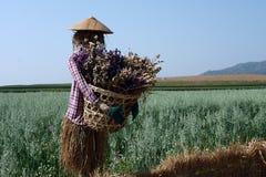 在绿色燕麦领域的稻草人 免版税库存照片