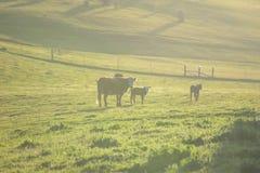 在绿色牧场地的三头母牛日落的 免版税库存照片