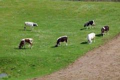 在绿色牧场地的六头母牛 免版税库存照片