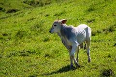 在绿色牧场地的小牛 库存照片