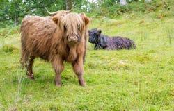 在绿色牧场地的长毛的母牛小牛在苏格兰 库存照片