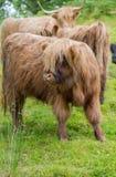 在绿色牧场地的长毛的母牛小牛在苏格兰 免版税库存图片