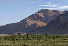 在绿色牧场地的马在喜马拉雅山 库存照片