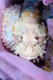 在紫色珊瑚(西巴丹岛的真正地非常被伪装的石头鲈 图库摄影