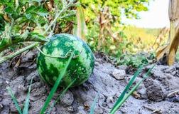 在绿色瓜的西瓜在夏天调遣 收获西瓜 库存图片