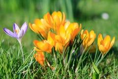 在黄色番红花的一朵紫罗兰色番红花 库存图片