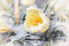 在黄色番红花花的特写镜头 免版税库存照片