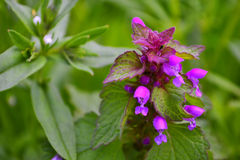 在绿色疯狂中的紫色花 免版税库存图片