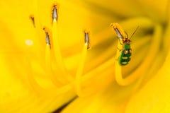 在黄色百合属植物的Diabrotica speciosa 库存照片
