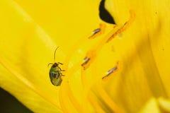 在黄色百合属植物的Diabrotica speciosa 免版税库存照片