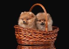 在黑色的两只Pomeranian小狗 免版税库存照片