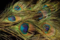在黑色的孔雀羽毛 免版税库存图片