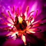 在紫色的宏观花 库存图片