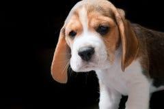 在黑色的小猎犬小狗 库存图片