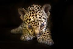 在黑色的小豹子 库存照片