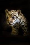 在黑色的小豹子 免版税库存图片