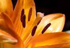 在黑色的橙色百合属植物开花宏指令 库存照片