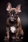 在黑色的法国牛头犬小狗 免版税库存图片