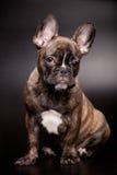 在黑色的法国牛头犬小狗 库存图片