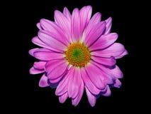 在黑色的淡紫色雏菊 免版税图库摄影