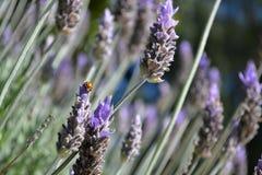 在紫色的瓢虫 免版税库存图片