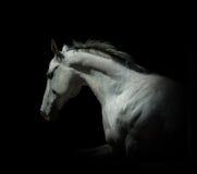 在黑色的白色公马被隔绝的 图库摄影