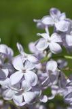 在绿色的白色淡紫色花 图库摄影