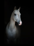 在黑色的白色纯血统马 免版税库存图片