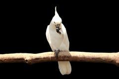 在黑色的白色美冠鹦鹉 免版税库存照片