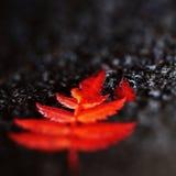 在黑色的红色叶子 免版税库存照片