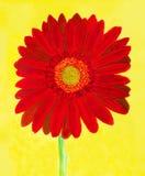 在黄色的红色大丁草,水彩 免版税库存照片