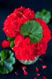 在黑色的红色大竺葵 库存图片