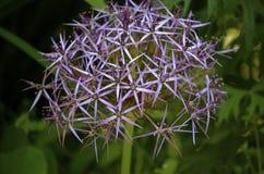 在紫色的花 免版税库存照片